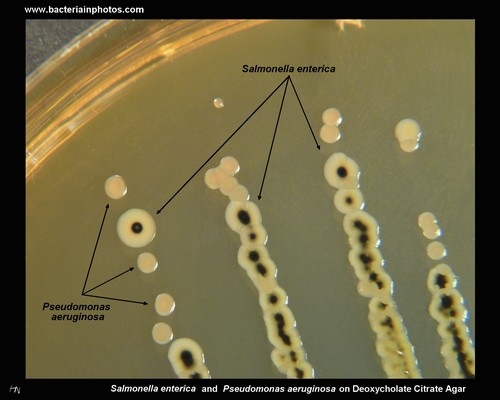 lactose negative,hydrogen sulfide positive colonies on deoxycholate agar
