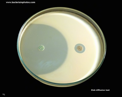 diffusion test with antibiotic discs, gentamicin resistant bacterium