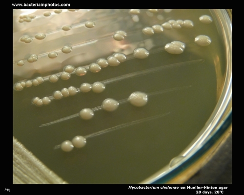 mycobacterium chelonae colonies on mueller hinton agar